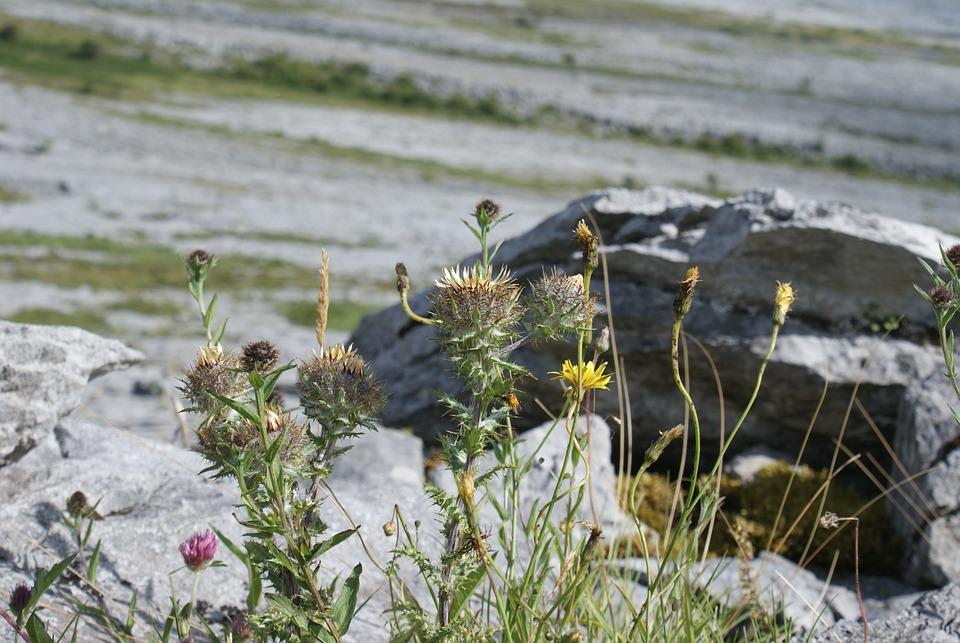 Flora, Nature, Wild Plant, Wild Flower, Thistle, Wild