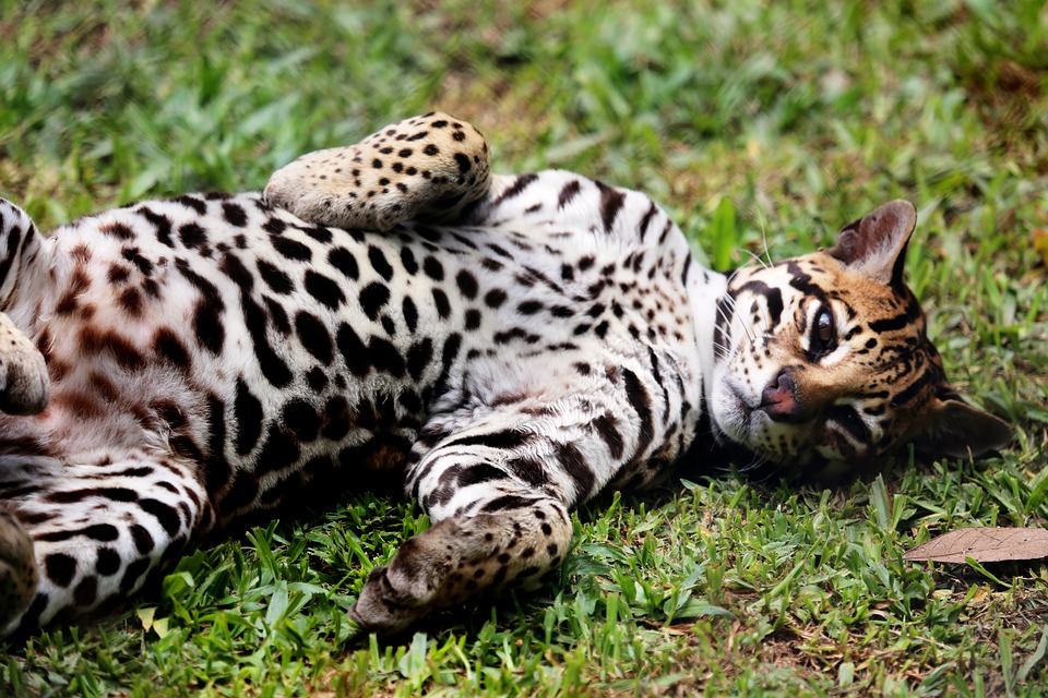 Ocelot, Feline, Animal, Wild, Lying In The Grass