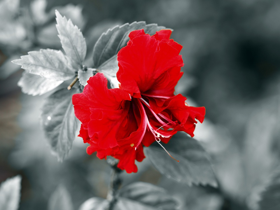Red, Wild, Flower, Outdoor, Nature, Natural, Seasonal