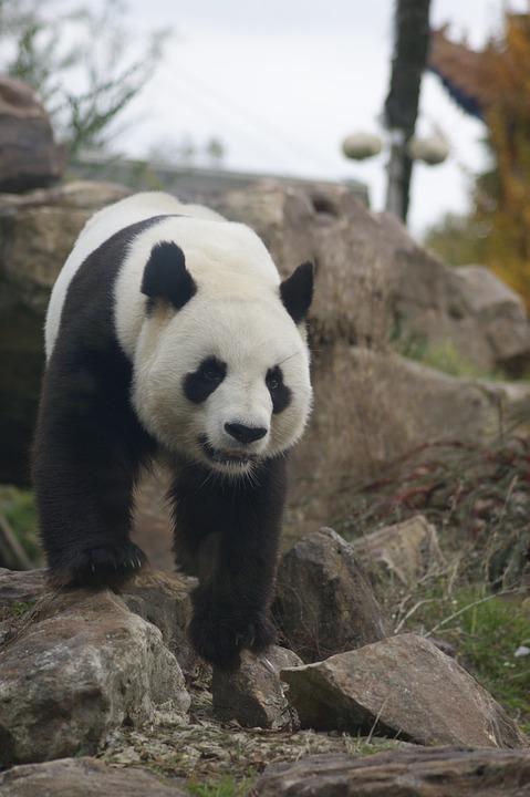 Panda, Animal, Wild