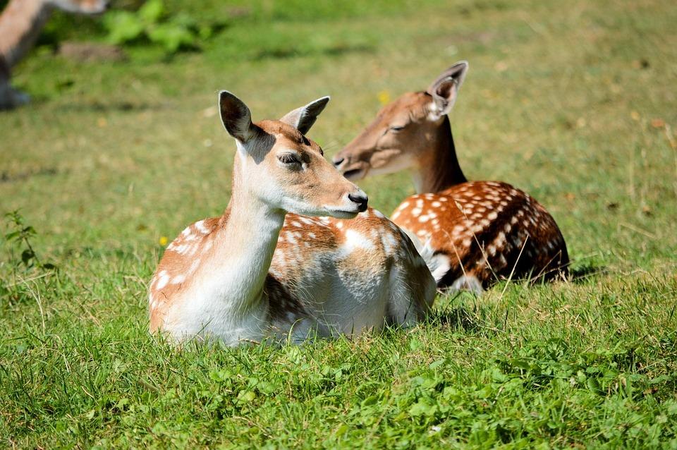 Deer, Wildlife, Wild Park, Animal, Mammal, Natural