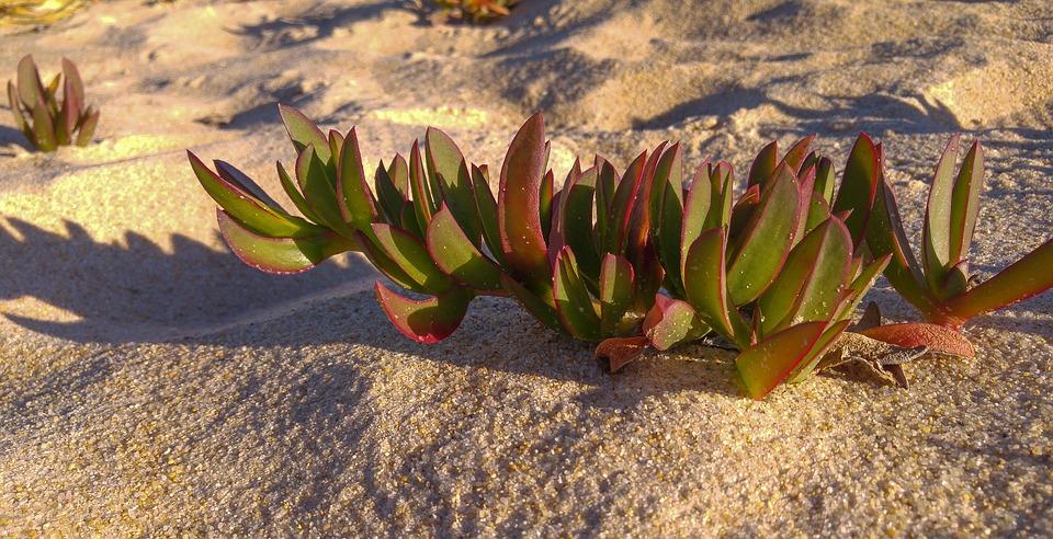 Plant, Beach, Sand, Wild Plants