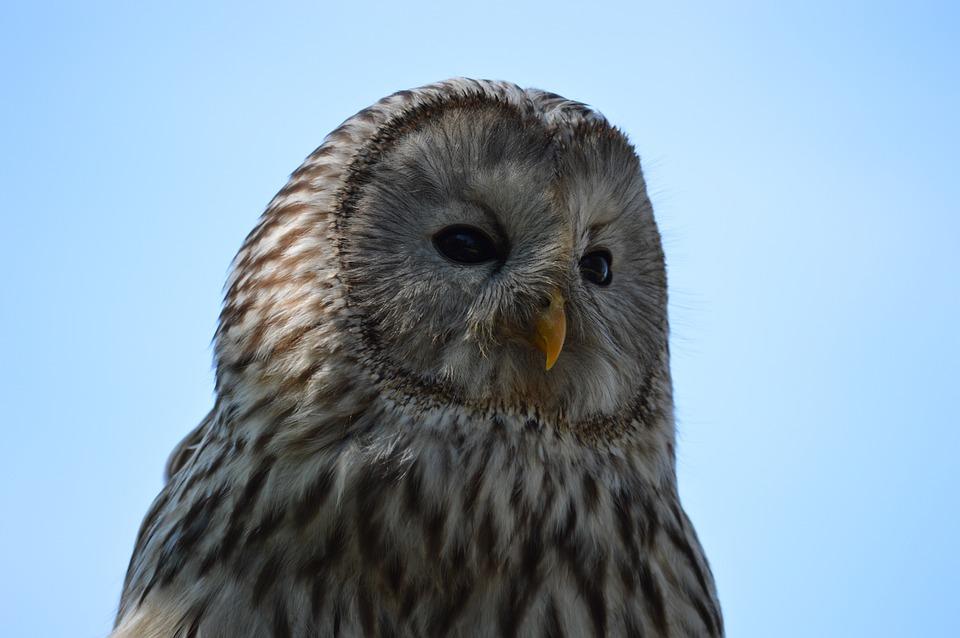 Owl, Bird, Nature, Eyes, Plumage, Pen, Wild, Head