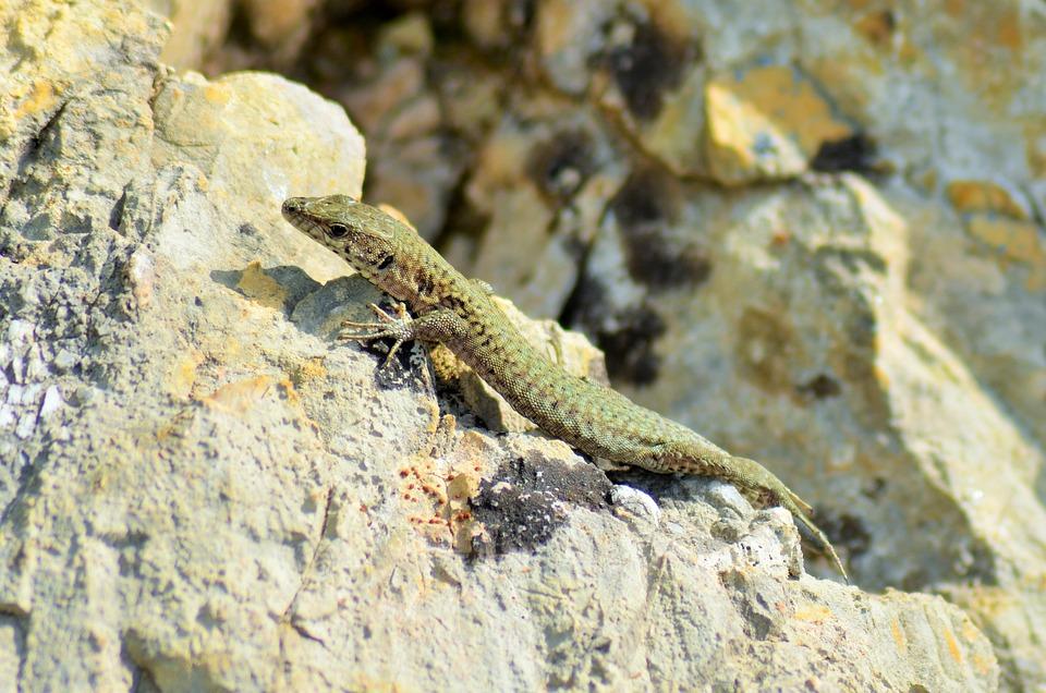 Lizard, Reptile, Animals, Animal, Nature, Fauna, Wild