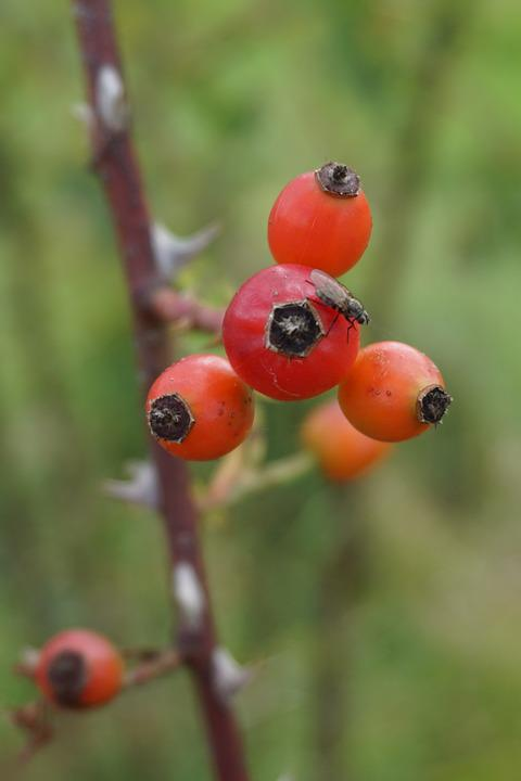 Rose Hip, Wild Rose, Red, Autumn, Autumn Fruits