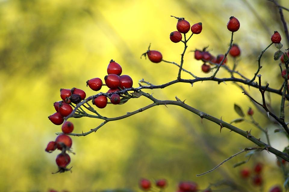 Rose Hip, Wild Rose, Dog Rose, Background, Bush, Autumn