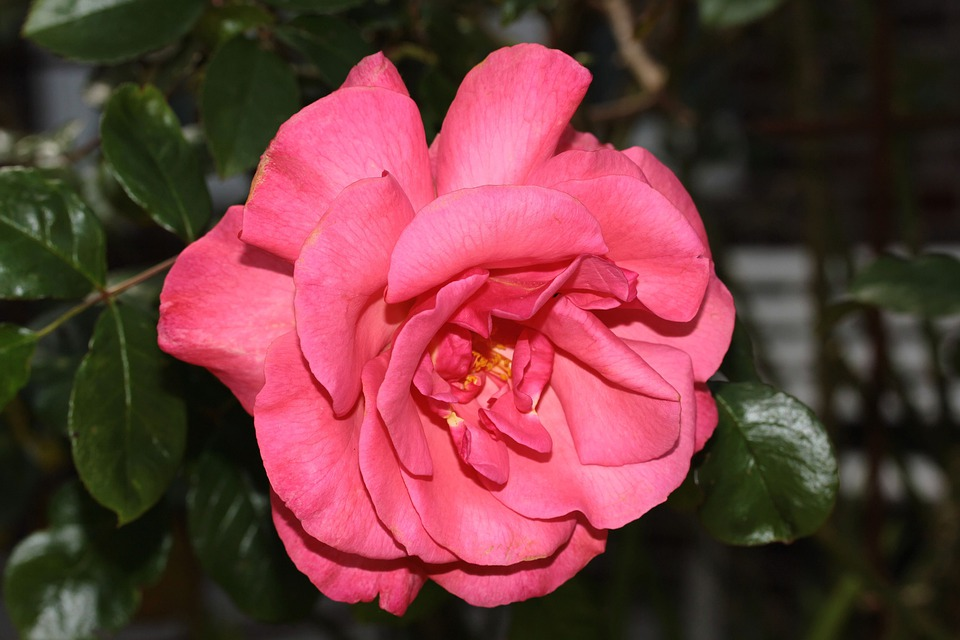 Wild Rose, Blossom, Bloom, Pink-red, Sweet, Fragrant