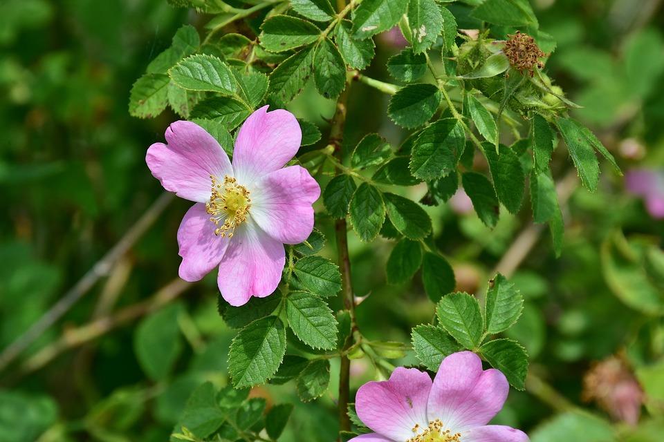 Rose, Wild Rose, White, Purple, Composites, Blossom