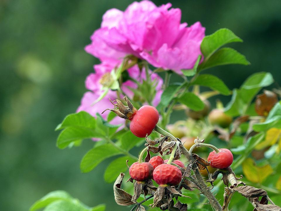 Rose Hip, Autumn, Red, Fruit, Wild Rose, Bush, Roses