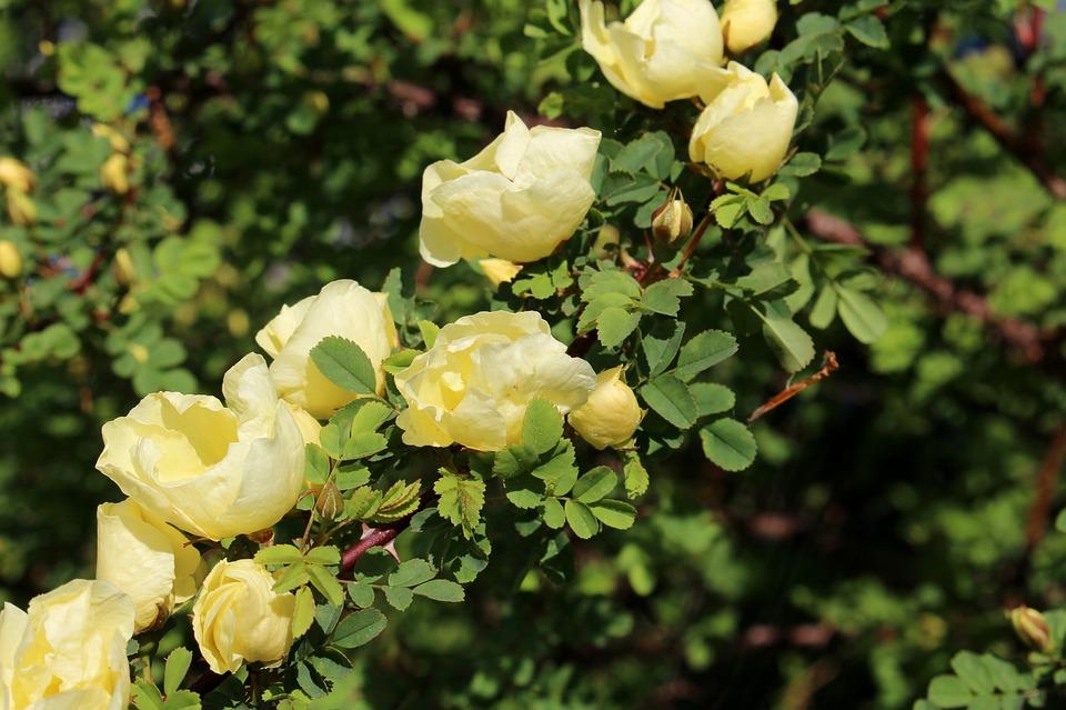 Roses, Wild Rose, Chinese Gold-rose, Rosa Hugonis