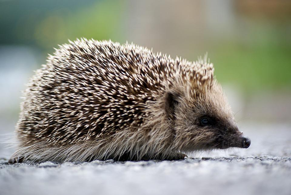 Hedgehog, Animal, Spring, Wild