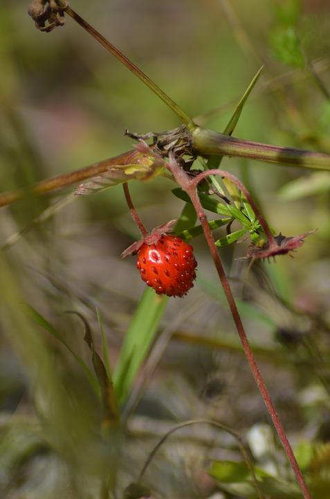Wild Strawberry, Plant, Garden, Summer, Berry