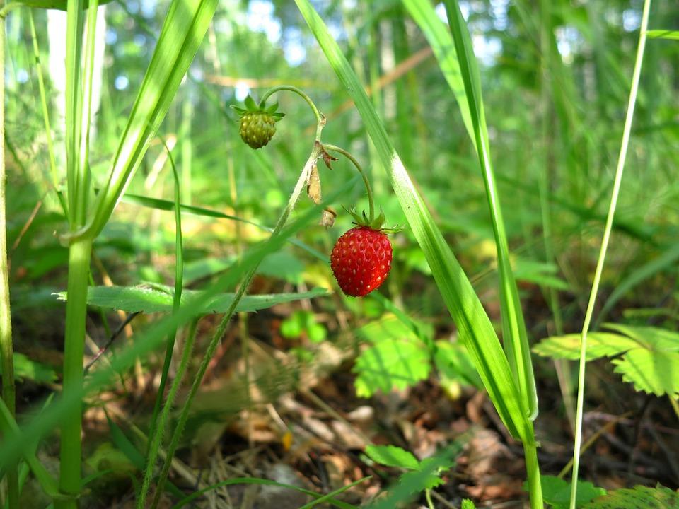Wild Strawberry, Wild Berry, Plant