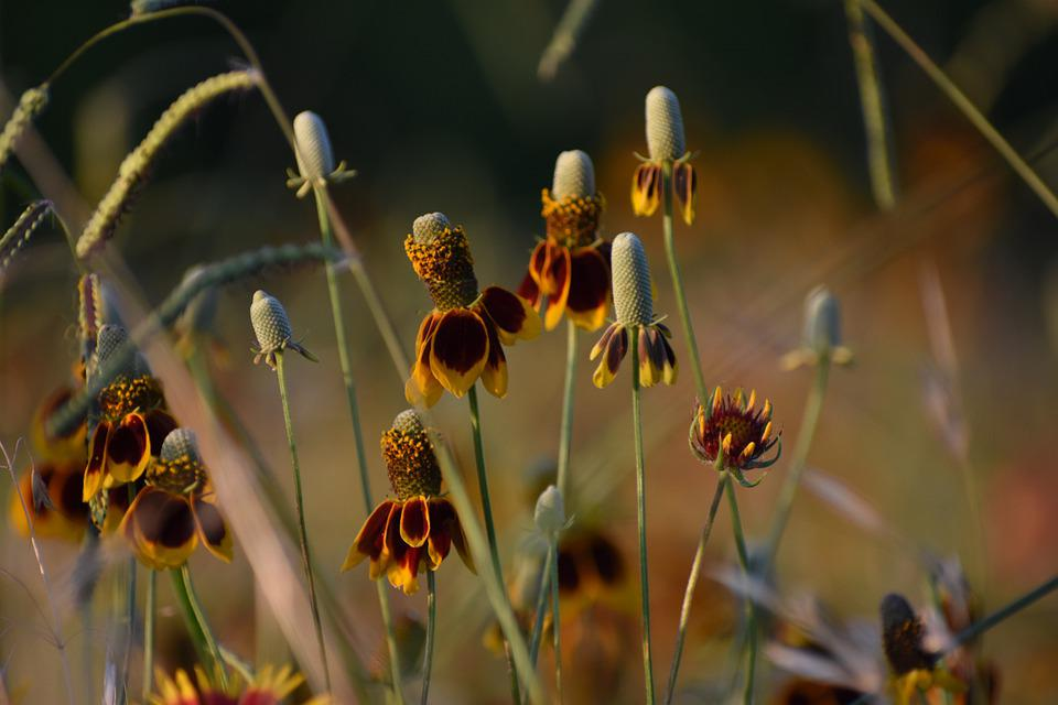 Flower, Nature, Texas, Summer, Flora, Wild, Botany