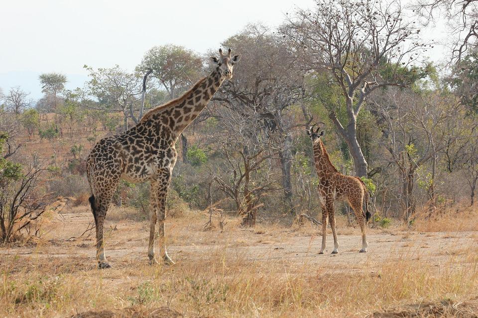 Africa, Tanzania, Mikumi, Wild, Safari, Giraffe