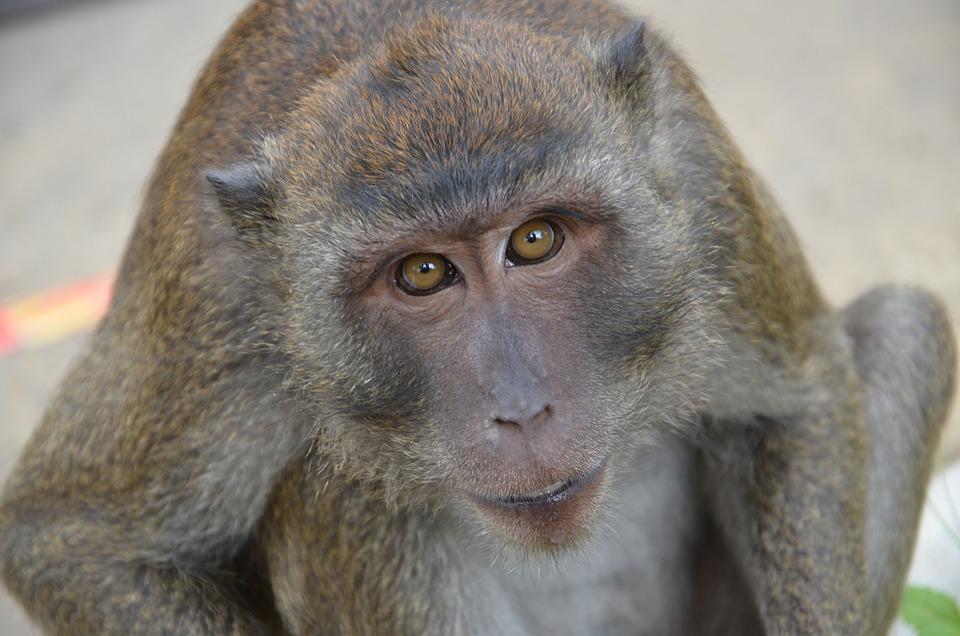 Monkey, Wild, Animals, Wildlife, Nature, Thailand