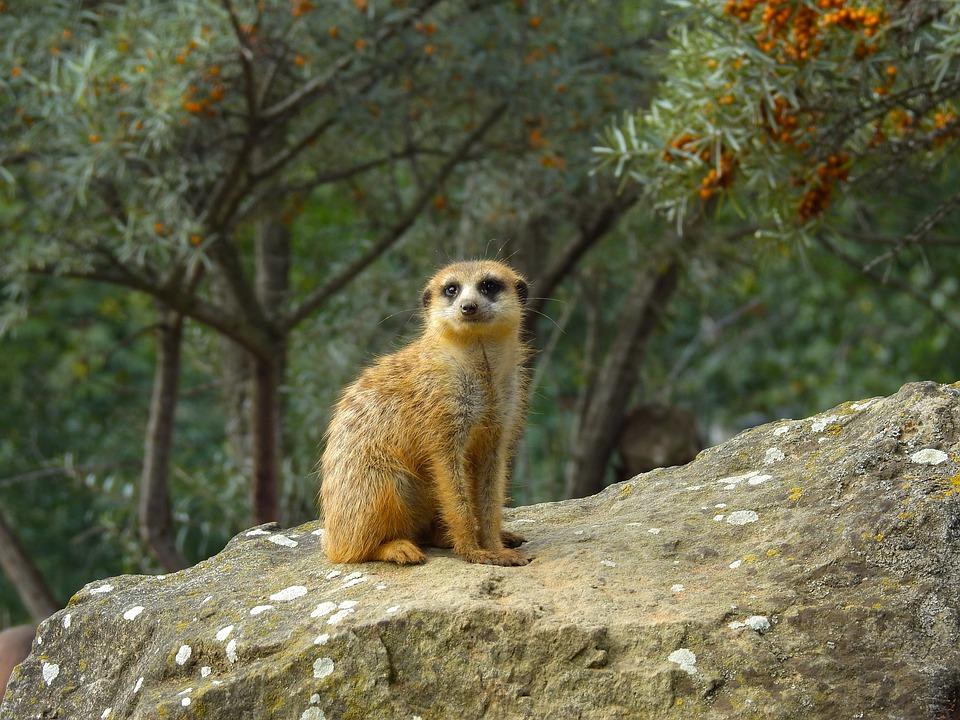 Meerkat, Animals, Zoo, The Meerkats, Wild