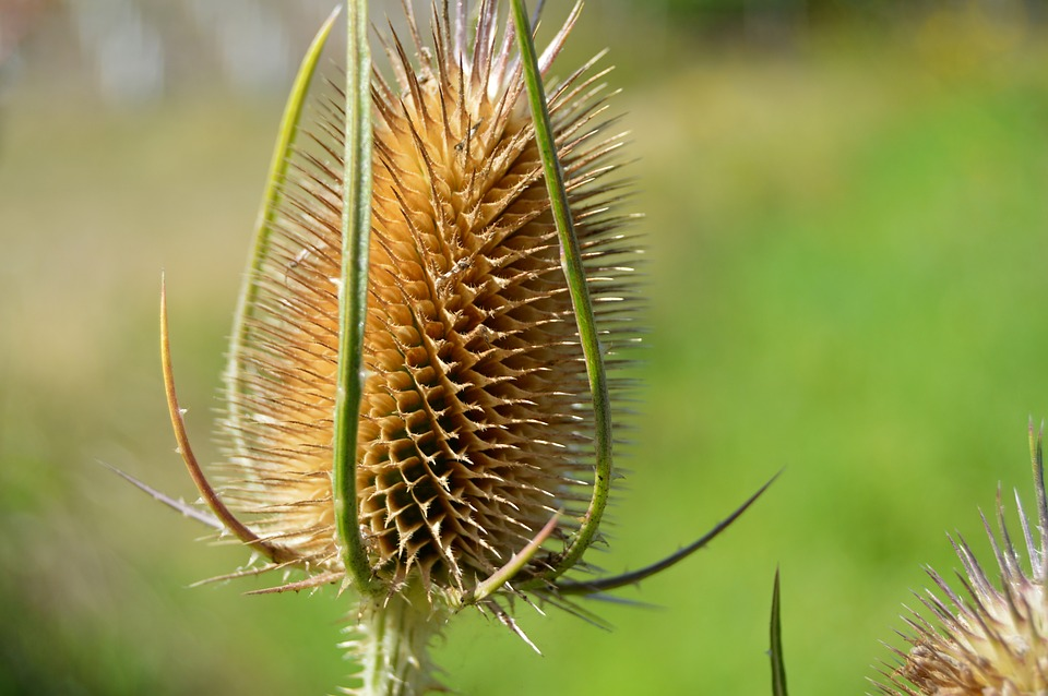 Thistle, Dry, Head, Wild Thistle, Faded, Brown, Drought