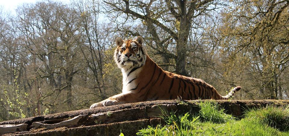 Big Cat, Tiger, Wildlife, Carnivore, Predator, Wild