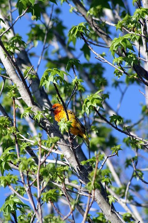 Bird, Yellow, Red, Nature, Wild, Green, Summer, Tree