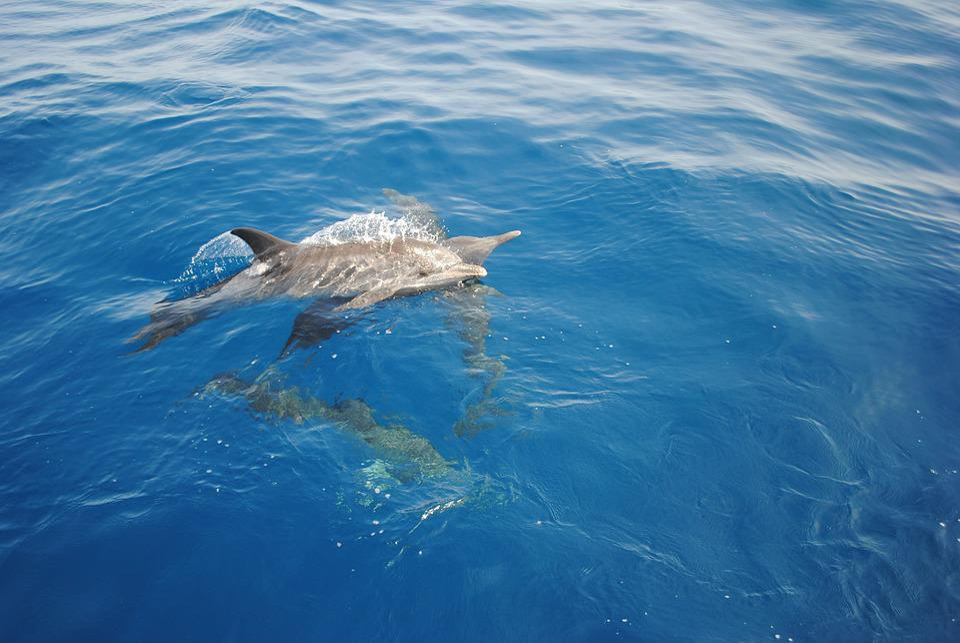 Dolphin, Nature, Ocean, Wild, Venezuela, Wildlife