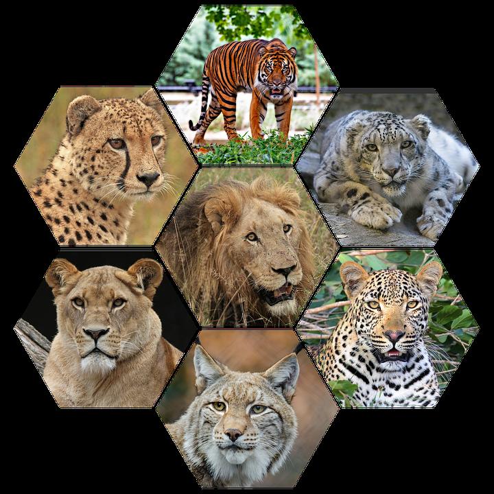 Big Cats, Vicious, Wild, Majestic, Felines