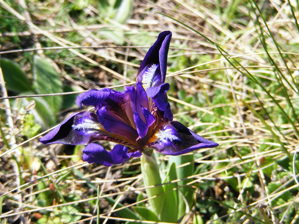 Iris, Wild, Iris Pseudarocus, Flower, Violet, Wild Iris
