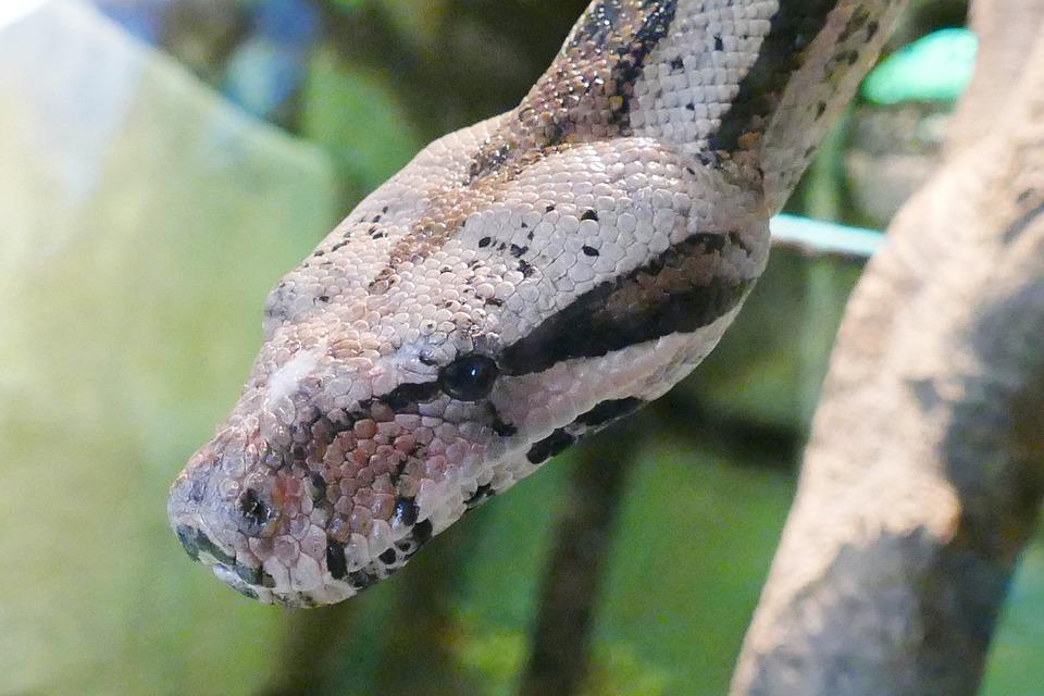 Snake, Head, Reptile, Wild, Nature, Wildlife, Serpent