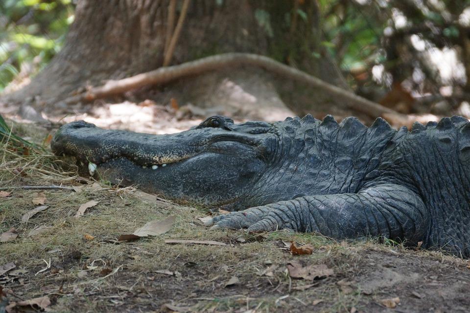 Nature, Wildlife, Danger, Animal, Wild, Alligator