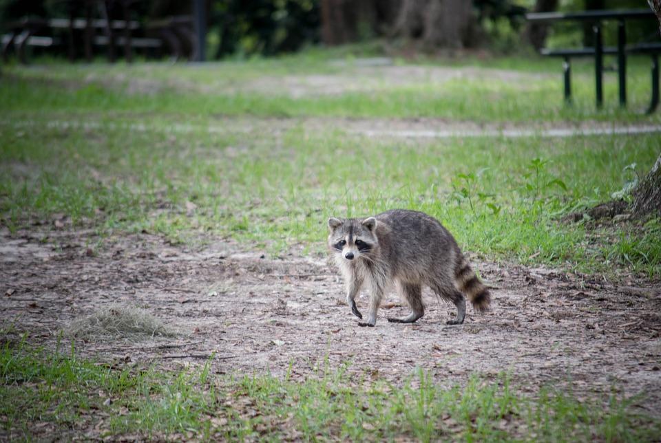 Raccoon, Animal, Mammal, Wildlife, Nature, Wild, Cute