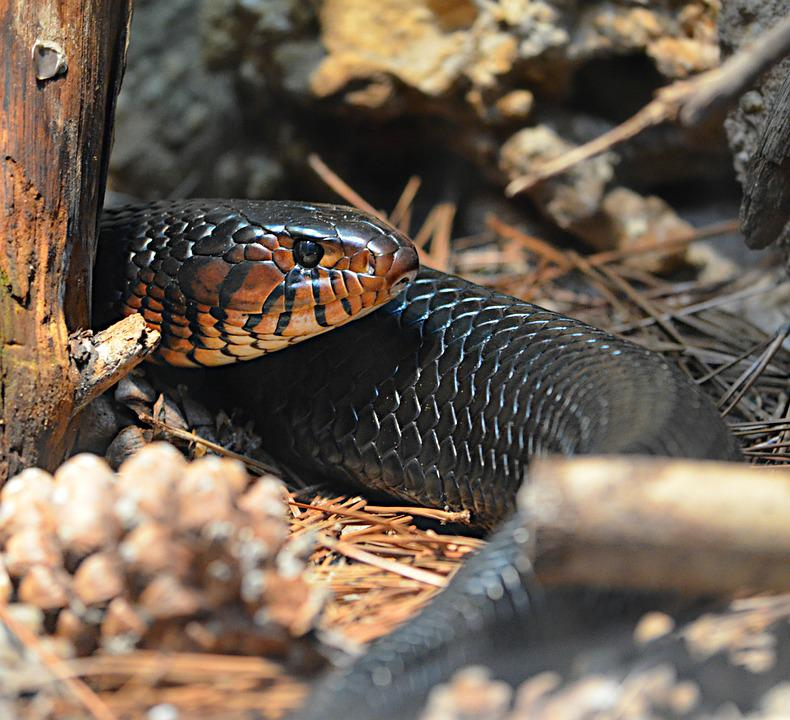 Snake, Reptile, Animal, Predator, Wild, Wildlife