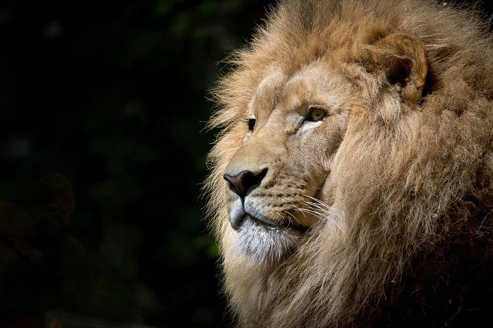 Lion, Wild, Africa, African, Felines, Zoo, Fauna, Tawny