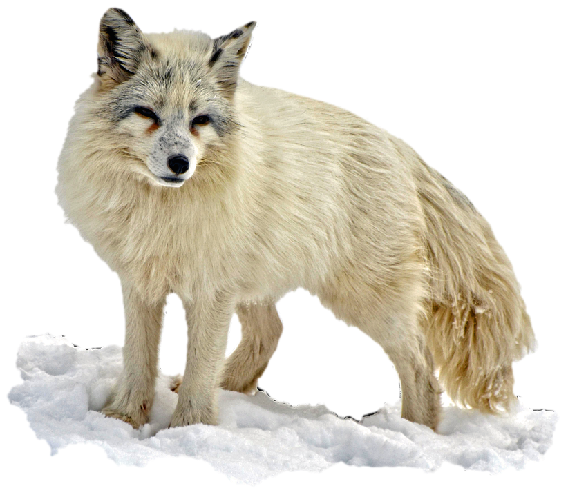 Isolated, Arctic Fox, Wilderness, Nature, Animal World