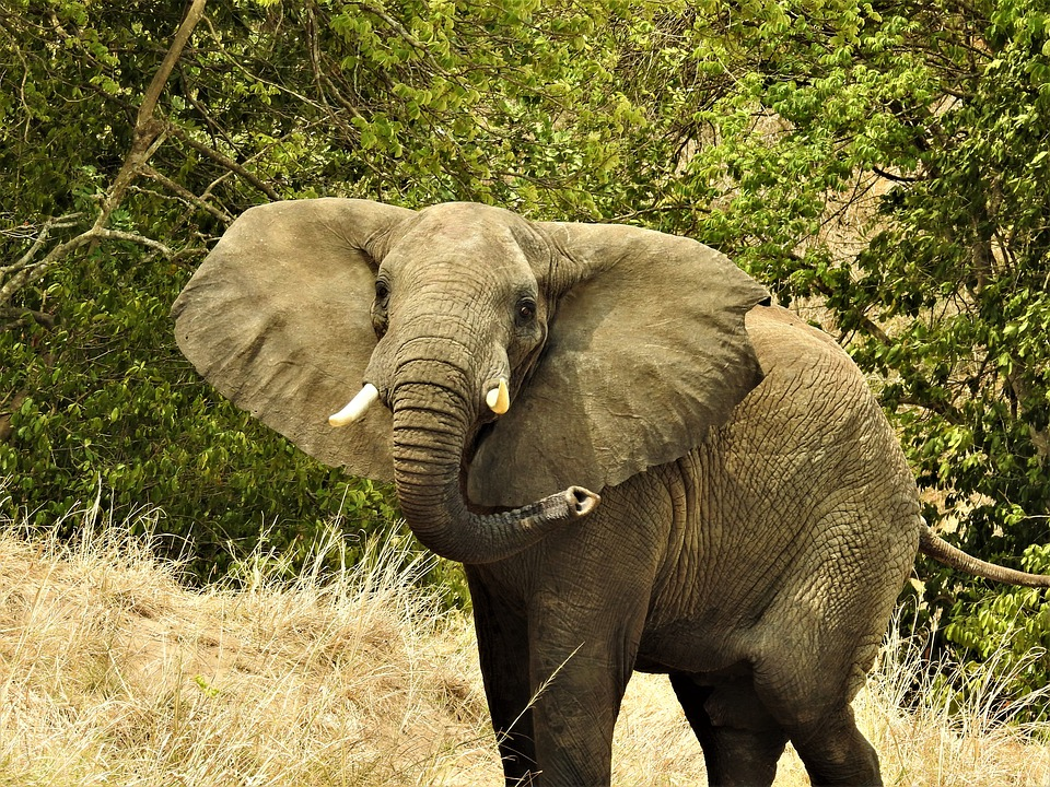 Elephant, Uganda, Africa, Tusks, Safari, Wilderness