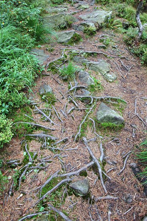 Roots, Trail, Landscape, Forest, Path, Wilderness, Way