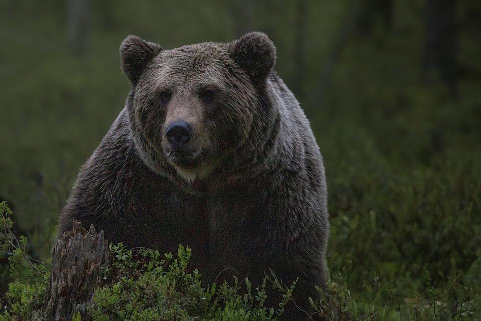 Bear, Wilderness, Nature, Animals, Predators, Mammal