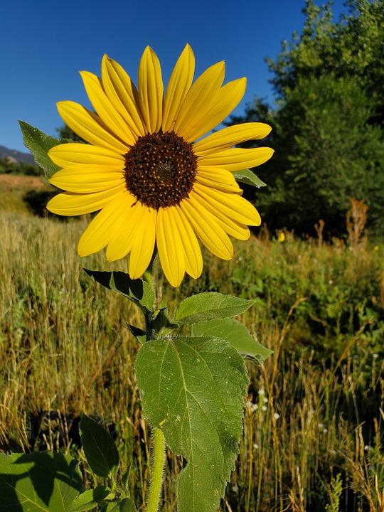 Wildflower, Blue Sky, Yellow, Beautiful, Nature, Flower