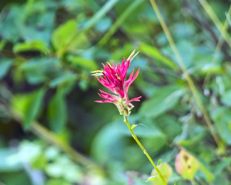 Indian Paintbrush, Prairie-fire, Wildflower, Blossom