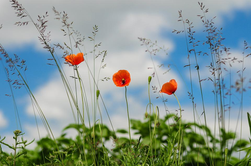 Poppy, Green, Clouds, Floral, Bloom, Wildflower, Summer
