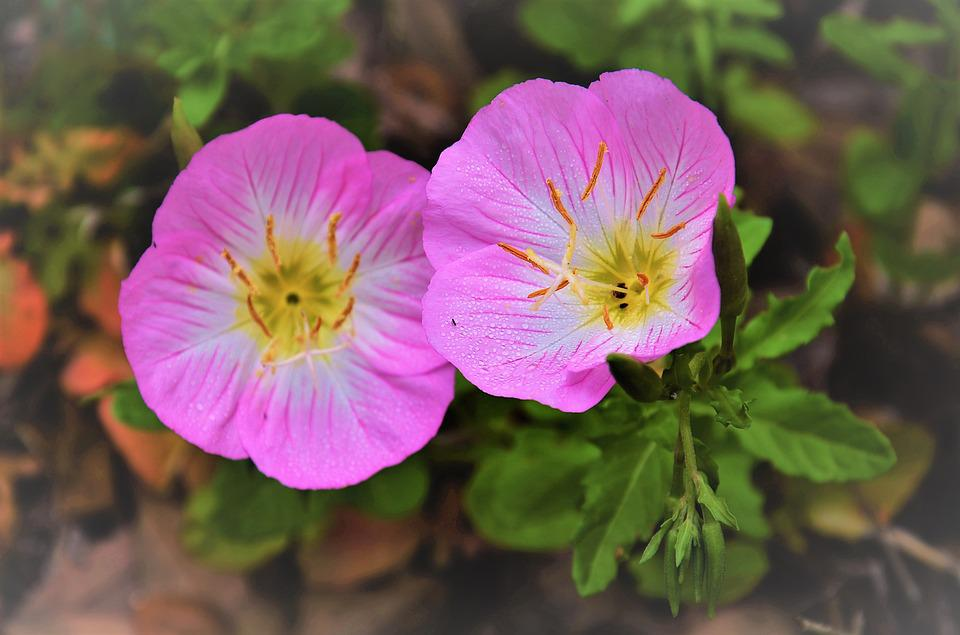 Free photo wildflower flower bug pink evening texas primrose max pixel texas primrose evening bug pink flower wildflower mightylinksfo