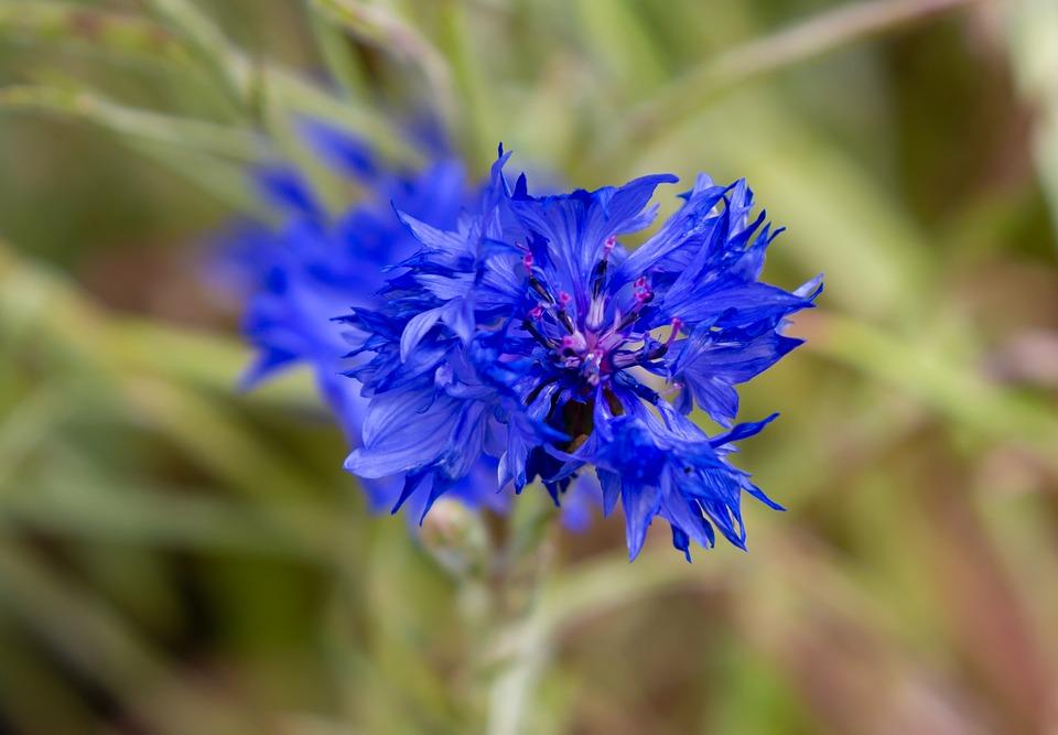 Flower, Blue, Wildflower, Nature, Chicory