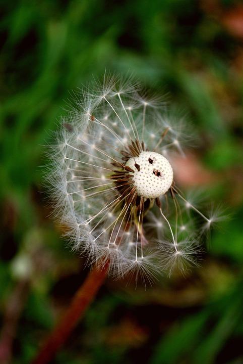 Flower, Dandelion, Seeds, Wildflower, Seed Head