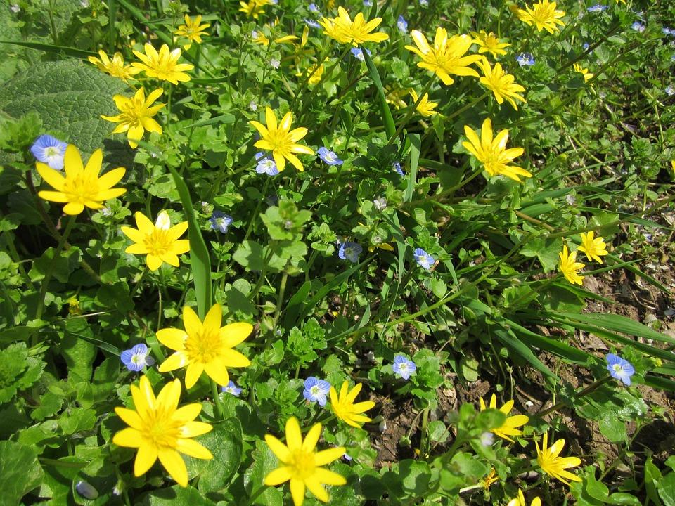 Ranunculus Ficaria, Lesser Calendine, Wildflower, Flora