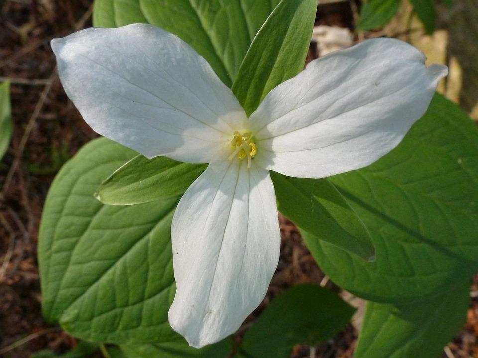 Trillium, Flower, White, Ontario, Bloom, Wildflower