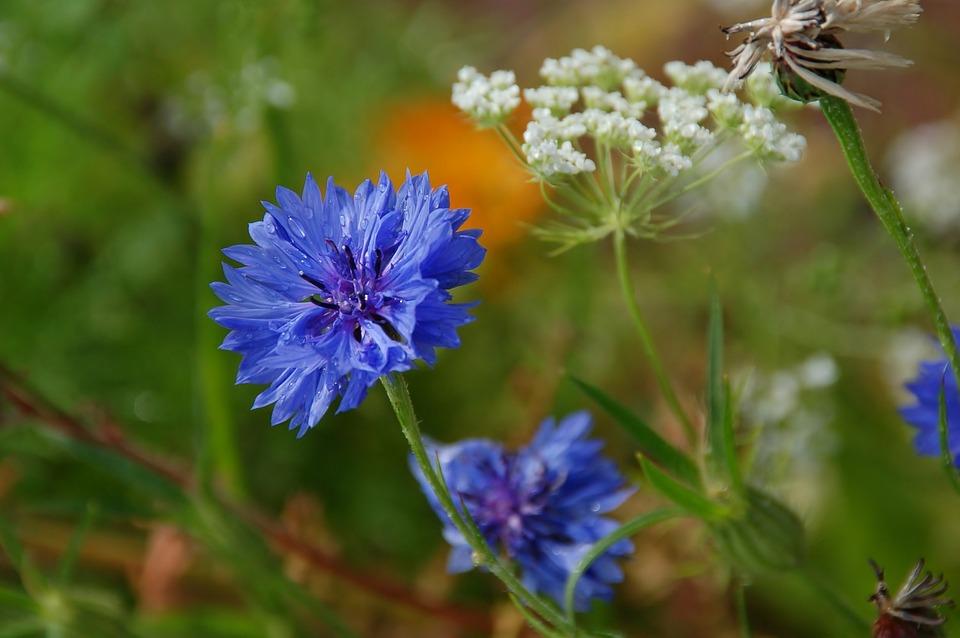 Nature, Plant, Wildflower, Blue, Purple, Summer