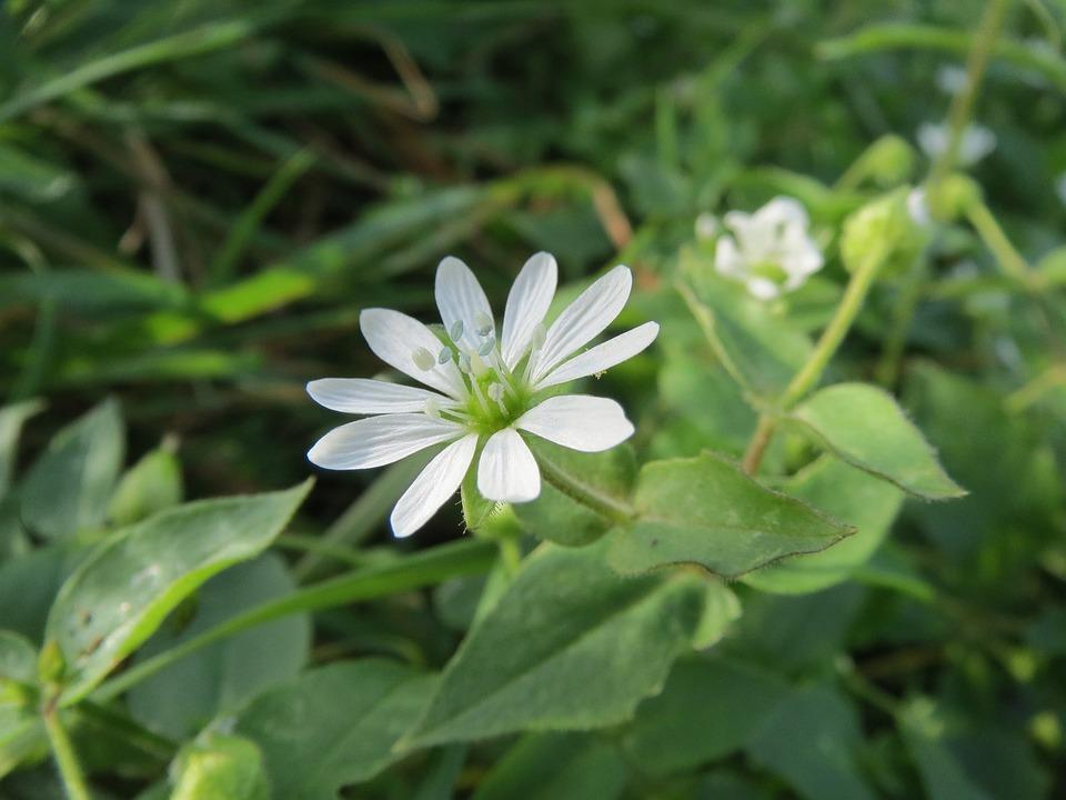 Myosoton Aquaticum, Water Chickweed, Wildflower, Flora