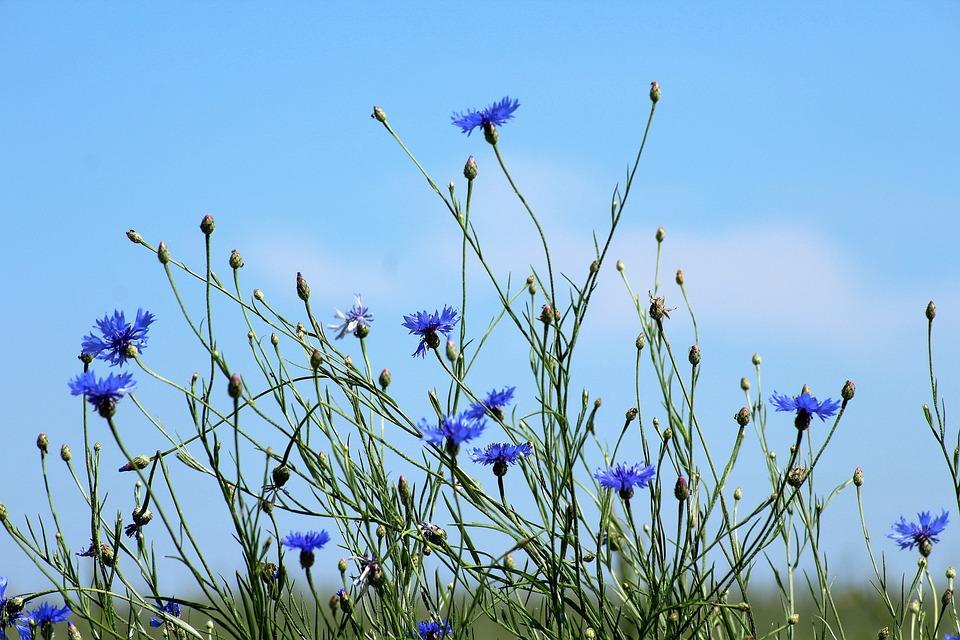 Cornflowers, Wildflowers, Meadow, Blue Flowers, Flowers