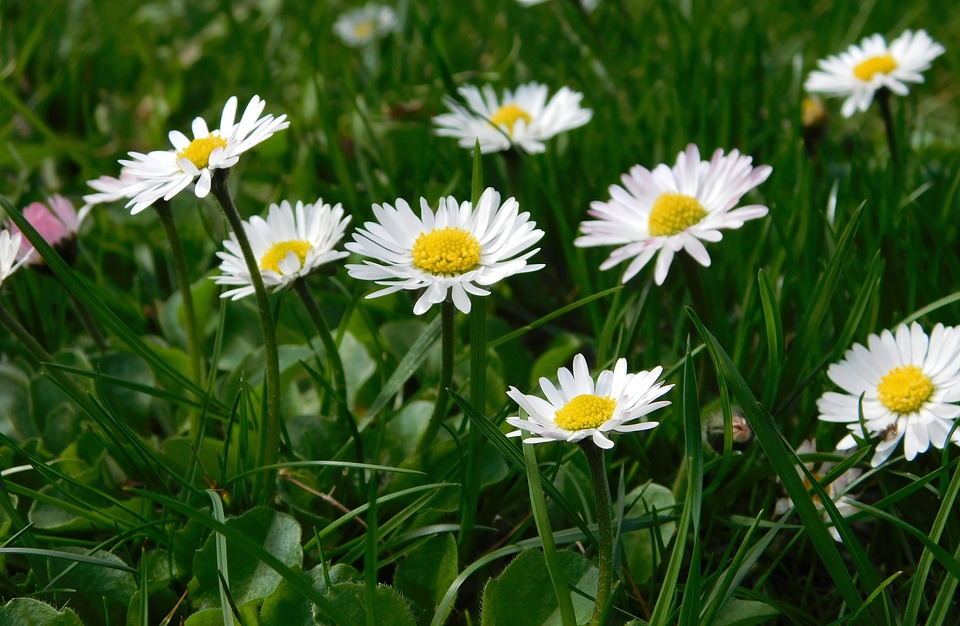 Daisy, Flowers, Wildflowers, Spring, Grass, Meadow