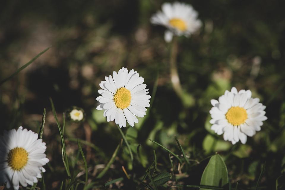 Daisy, Flowers, White, Wildflowers, Garden, Nature