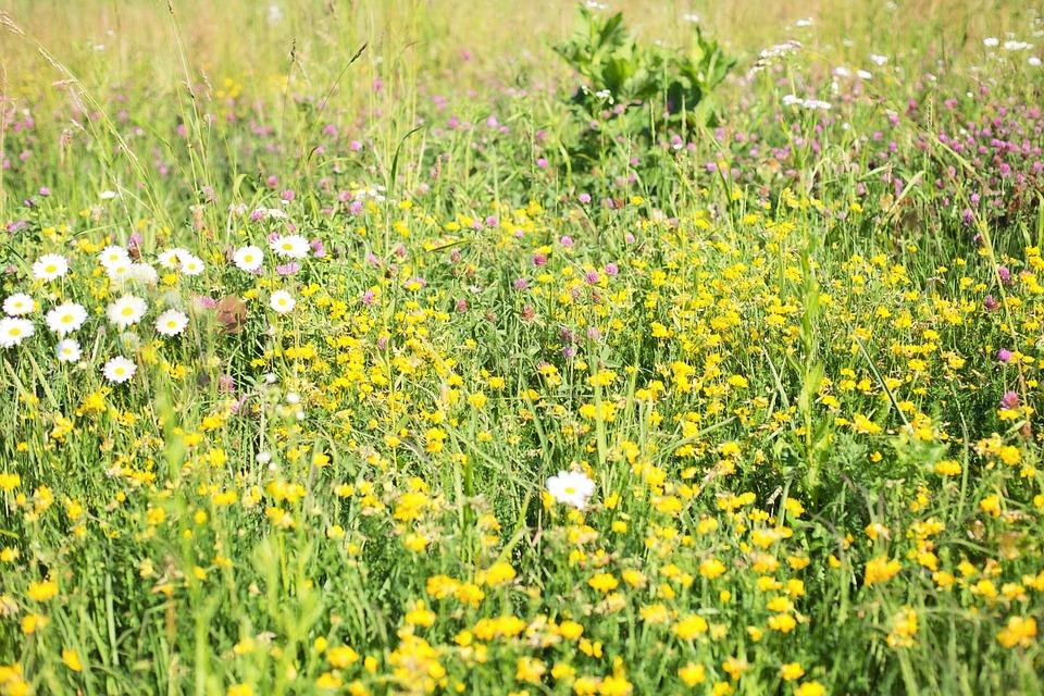 Wildflowers, Meadow, Tall Grass, Nature, Field, Summer